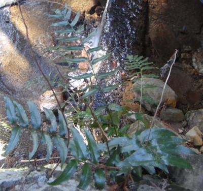 ナガバヤブソテツ川沿いの石垣に生育。2011,2,26広沢寺温泉沿いの川の上流。