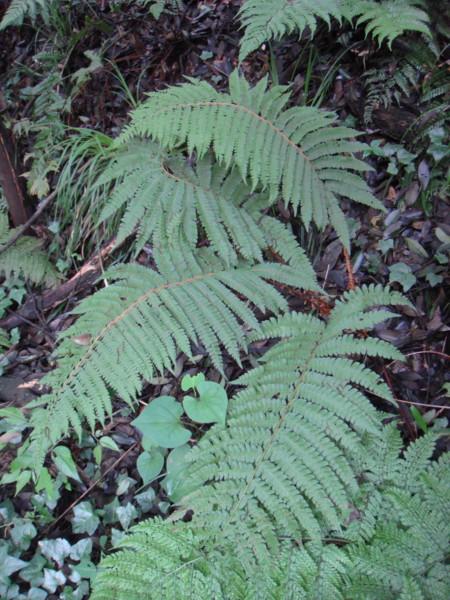 サカゲイノデ2011,6,18東高根森林公園