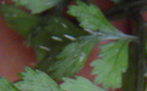 ホソバイヌワラビ小羽軸上のトゲ2011,6,18緑ヶ丘霊園