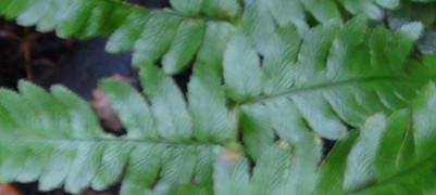 アイノコクマワラビの小羽片の葉脈2011,8,27稲城市南山