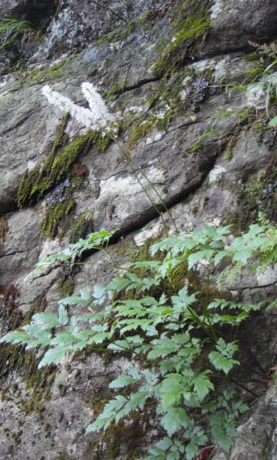 サラシナショウマ。2011,9,25大室山