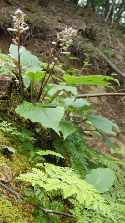 イワギボウシの仲間。2011,8,17畦ヶ丸
