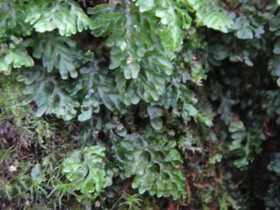 ヒメコケシノブの生態。2011,9,25大室山