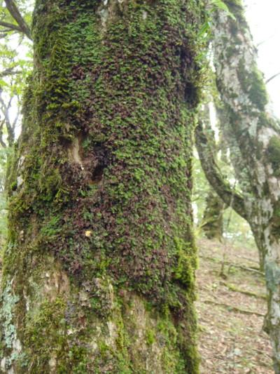 樹幹に生育するヒメコケシノブ。2011,9,25大室山
