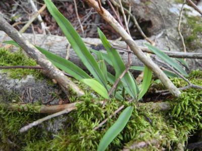 ミヤマノキシノブの生態。2011,9,25大室山