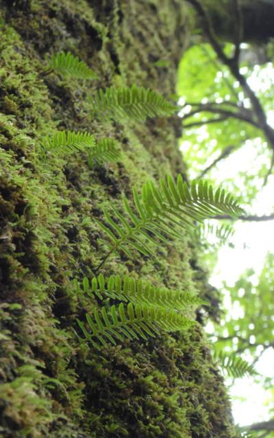 オシャグジデンダの生態。2011,9,25大室山