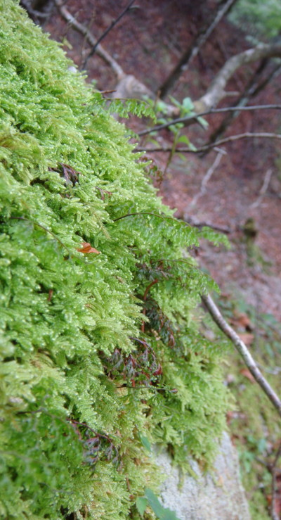 ホソバコケシノブは岩上にコケ類とともに生育していた。2011,9,25大室山