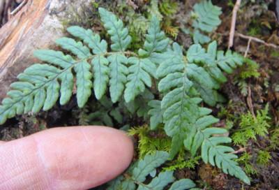 イワイタチシダの生態。2011,9,25大室山