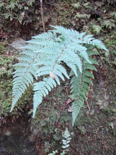 イヌイワイタチシダの生態。2011,9,25大室山