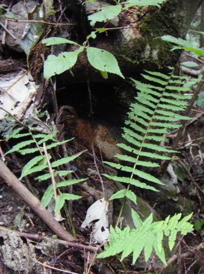 ミヤマクマワラビの生態。2011,9,25大室山