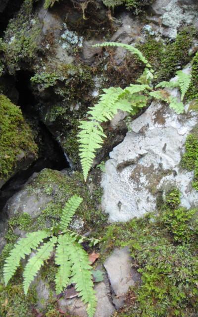 フクロシダの生態。2011,9,25大室山