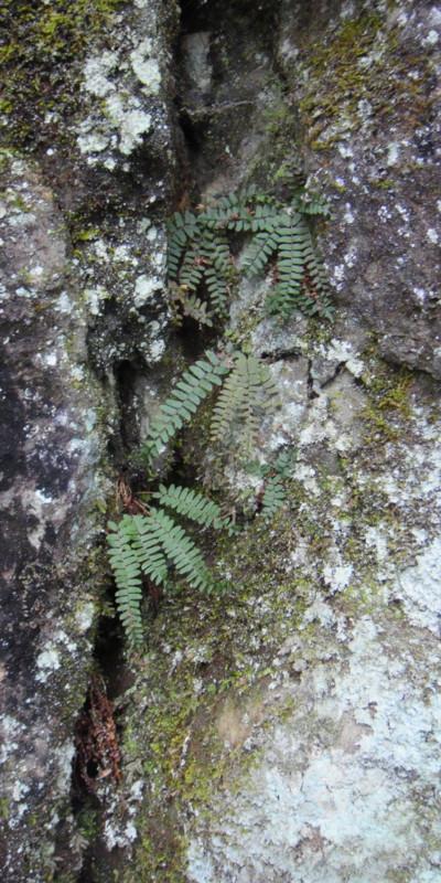 ツルデンダの生態。2011,9,25大室山