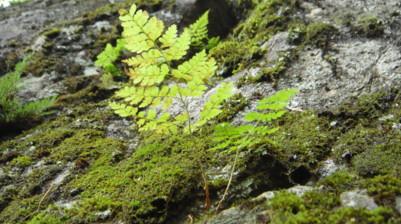 岩場に生育するナンタイシダ。2011,9,25大室山