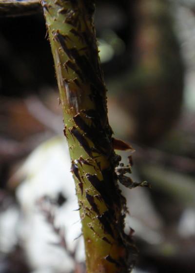 ミヤマクマワラビの葉柄鱗片。2011,9,25大室山