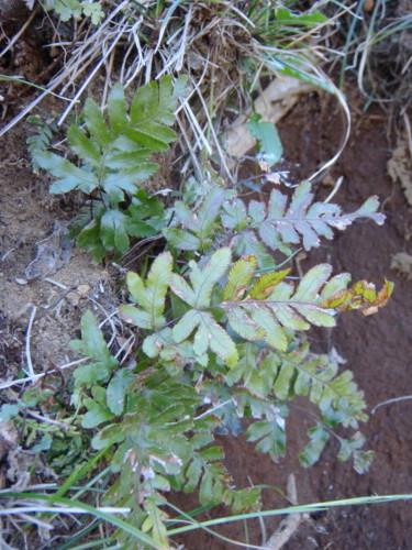 胞子のう群はつけていない。崖や石垣など乾燥気味なところであれば民家の周辺でも見られる。2012,4,1久野霊園