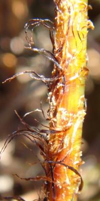 鱗片は黒色~黒褐色、辺縁は淡色になることがある。2012,4,1久野霊園
