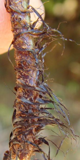 鱗片は黒色~黒褐色。2012,4,1久野霊園