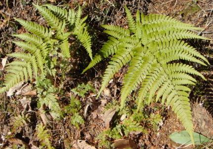 他のイタチシダ類とくらべると中軸や葉柄は鱗片が少なく緑色に見えること。リョウトウイタチシダにくらべると葉の色は黄緑色~鮮緑色、広三角形~五角形。2012,4,1久野霊園