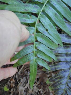 葉身中部の羽片は上側が中軸に流れてつく。2012,4,1久野霊園