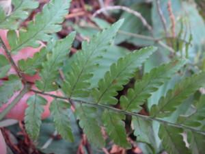 オオベニシダはベニシダの仲間のなかでは最下羽片の柄葉長い。2012,4,1久野霊園