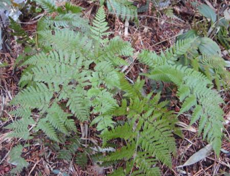 丘陵地の上部の林で生育。2012,4,1久野霊園
