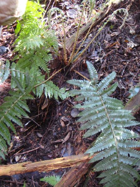 雑種にしては小さな個体であるが、この個体の葉身の形はイノデやアスカイノデの形をしておりアイアスカイノデには似ていない。2012,4,1久野霊園