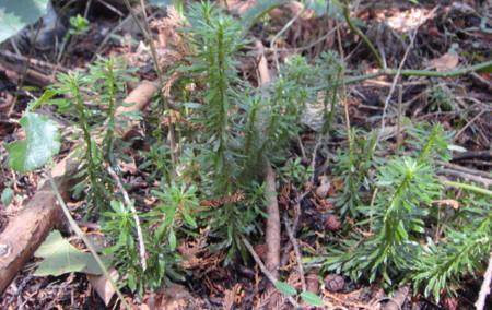 この個体はウエットな森の中で生育。2012,4,1久野霊園