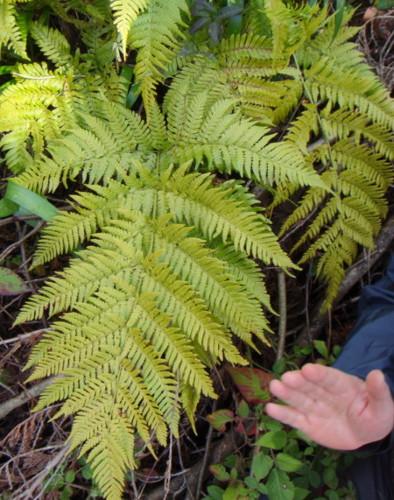 よく日が差し込む林縁に生育しているためか黄緑色。2012,4,1久野霊園