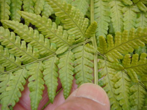 葉の表面には光沢がある。2012,4,1久野霊園