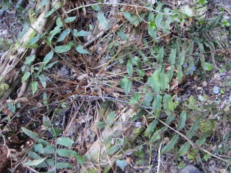 ホソバヤマヤブソテツと呼ばれるtype。2012,4,1久野霊園