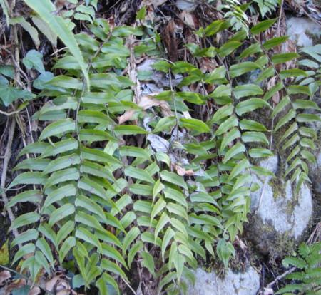 写真の個体は見方によってはヤマヤブソテツにも見えるので芽立ちの時期に違いがあるかどうか確認したい。2012,4,1久野霊園