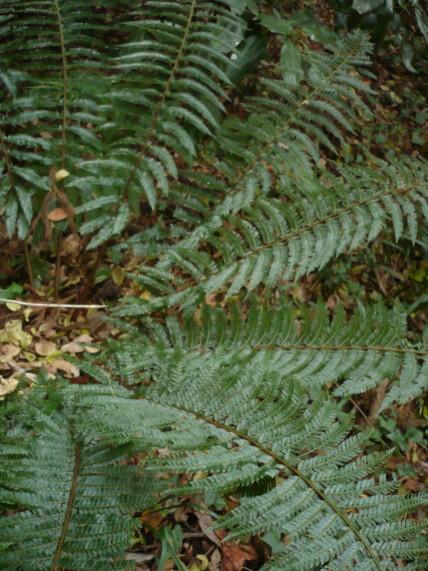 アイアスカイノデの生態写真09,11,12二子山森戸川