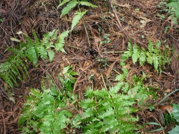 アイノコクマワラビの生態写真09,3二子山森戸川