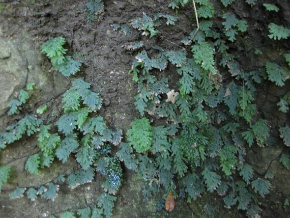 アオホラゴケの生態写真