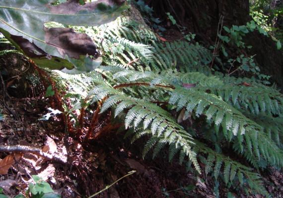 イノデの生態写真09,8,17大楠山