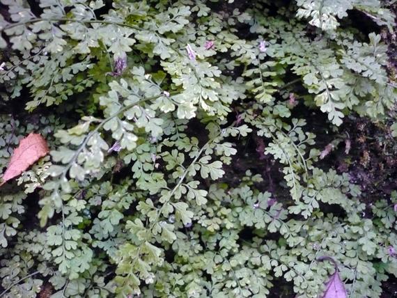イワトラノオの生態写真
