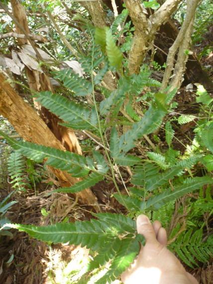 オニカナワラビの生態写真09,11二子山森戸川