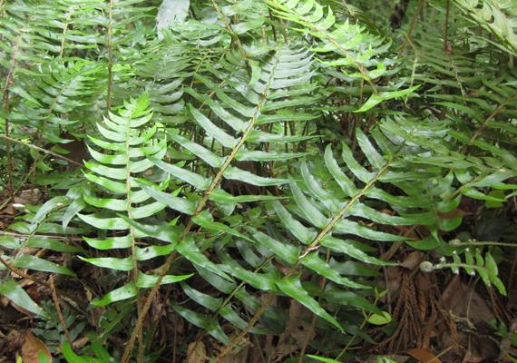 オリヅルシダの生態写真