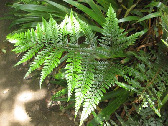 コバノカナワラビの生態写真