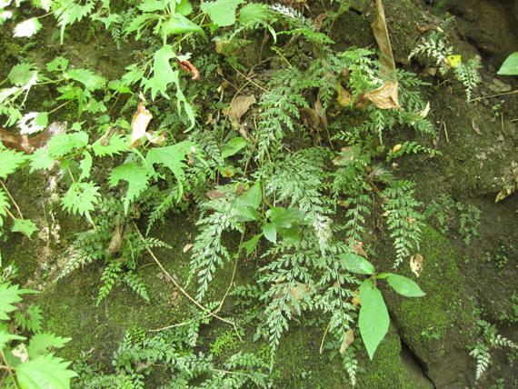 コバノヒノキシダの生態写真