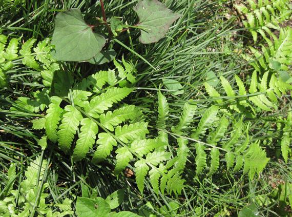 シケシダの生態写真