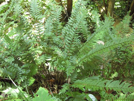 ジュウモンジシダの生態写真