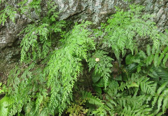 タチシノブの生態写真