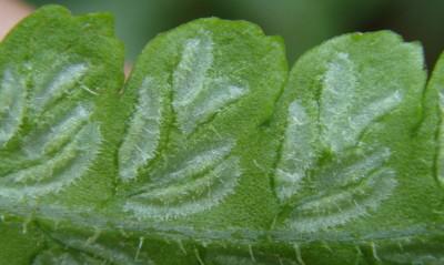 ナチシケシダの胞膜写真