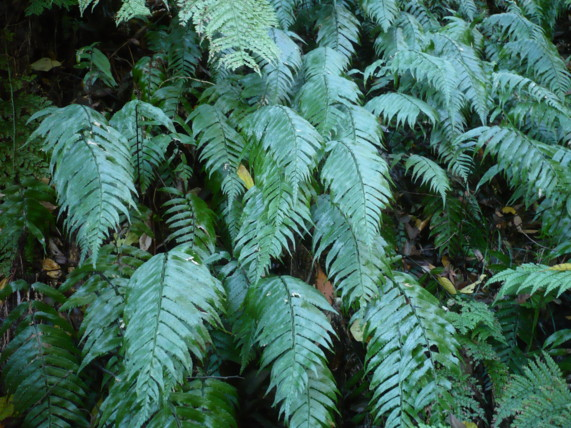 ノコギリシダの生態写真