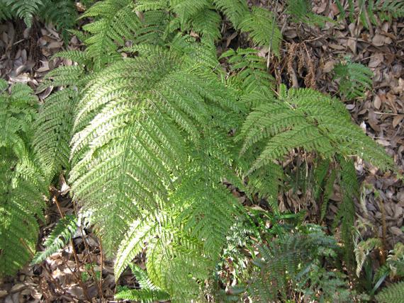 リョウメンシダの生態写真